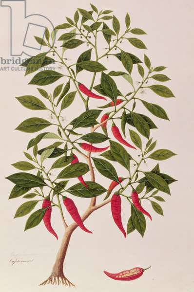 Chilly or Capsicum, 'Drawings of Plants from Malacca', c.1805-18 (w/c on paper)