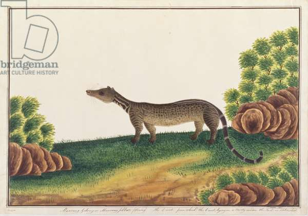 Malay Civet, from 'Drawings of Animals, Insects and Reptiles from Malacca', c.1805-18 (gouache and w/c on paper)