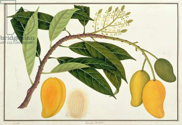Mango Bodol, from 'Drawings of Plants from Malacca', c.1805-18 (w/c on paper)