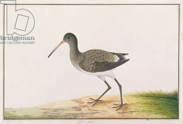 Black-tailed Godwit, from 'Drawings of Birds from Malacca', c.1805-18 (w/c on paper)