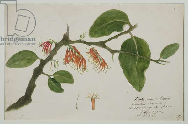 Dendrophthoe falcata (orange mistletoe), 1785 (w/c on paper)