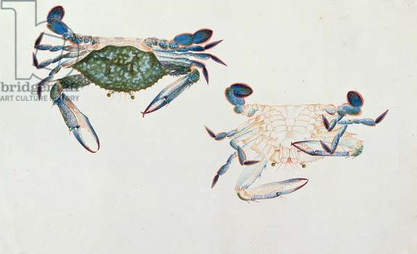 Ketam Rinyong, from 'Drawings of Animals, Insects and Reptiles from Malacca', c.1805-18 (w/c and gouache on paper)