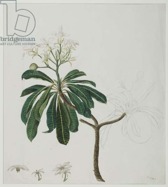 Cerbera manghas L., 1787 (w/c on paper)