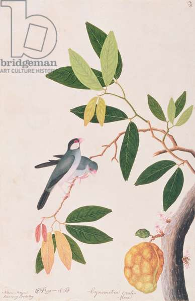 Java Sparrow, from 'Drawings of Birds from Malacca', c.1805-18 (w/c on paper)