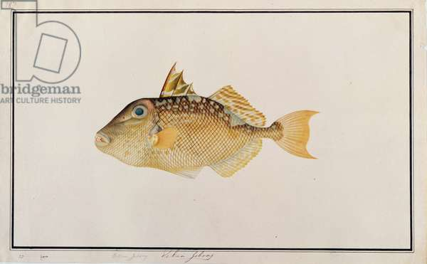 Starry Triggerfish, from 'Drawings of Fishes from Malacca', c.1805-18 (w/c on paper)