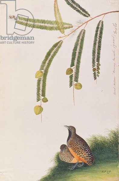 Barred Buttonquail, from 'Drawings of Birds from Malacca', c.1805-18 (w/c on paper)