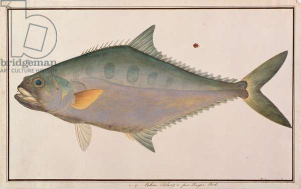 Talang Queenfish, from 'Drawings of Fishes from Malacca', c.1805-18 (w/c on paper)