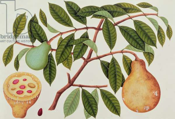 Fruit, from 'Drawings of Plants from Malacca', c.1805-18 (w/c on paper)
