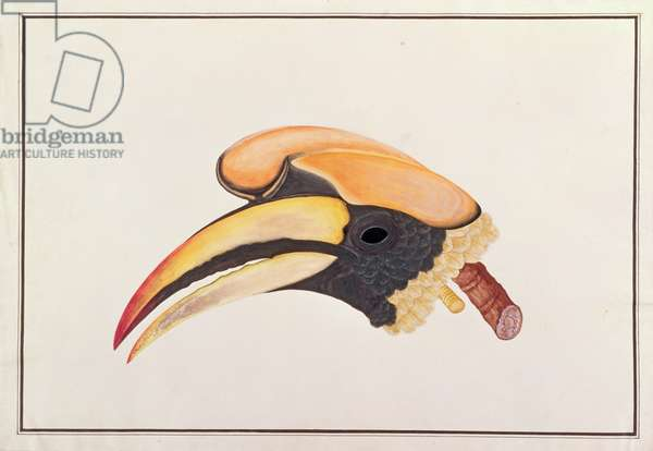 Great Hornbill, from 'Drawings of Birds from Malacca', c.1805-18 (w/c on paper)