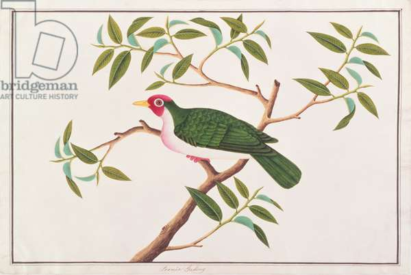 Jambu Fruit-dove, from 'Drawings of Birds from Malacca', c.1805-18 (w/c on paper)