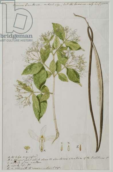 Wrightia tinctoria (Roxb.) R, 1785 (w/c on paper)