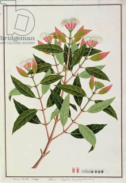 Boongo Chinkie (Malay), Eugenia Caryophyllatallen or Clove, from 'Drawings of Plants from Malacca', c.1805-18 (w/c on paper)