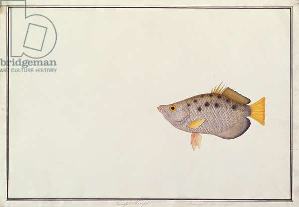 Spotted Archerfish, from 'Drawings of Fishes from Malacca', c.1805-18 (w/c on paper)