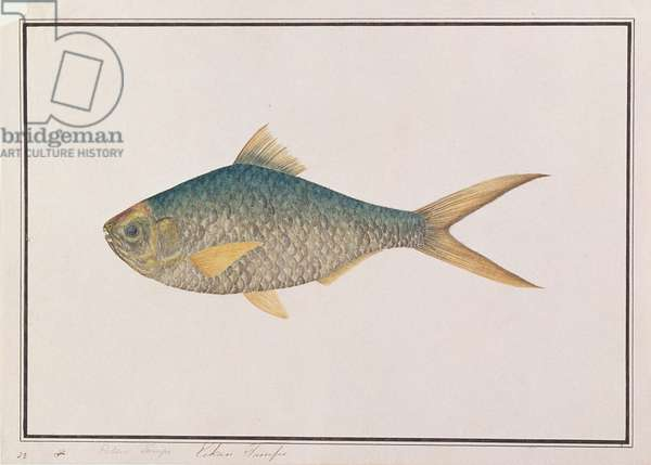 Shad, from 'Drawings of Fishes from Malacca', c.1805-18 (w/c on paper)
