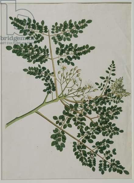 Moringa oleifera, also called horse-raddish tree, or drumstick tree (w/c on paper)