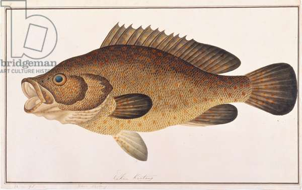 Orange-spotted Grouper, from 'Drawings of Fishes from Malacca', c.1805-18 (w/c on paper)