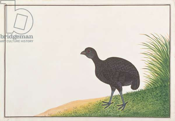 Black Partridge, from 'Drawings of Birds from Malacca', c.1805-18 (w/c on paper)