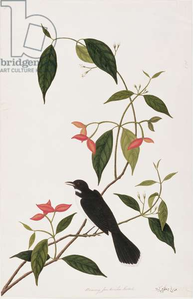 Booring Janke-chee Gutah, from 'Drawings of Birds from Malacca', c.1805-18 (w/c on paper)