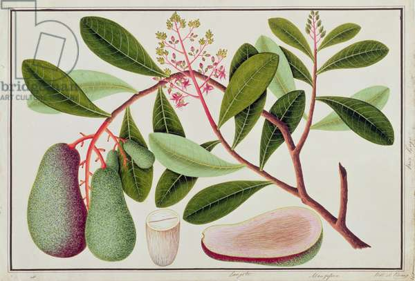Langote or Mangifera, from 'Drawings of Plants from Malacca', 19th century (w/c on paper)