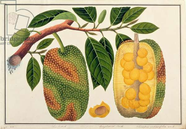 Champedak Artocarpus integrifolia or Longleaved Jack, from 'Drawings of Plants from Malacca', c.1805-18 (w/c on paper)