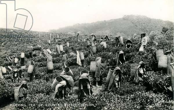 Plucking tea, up-country estate, Ceylon, c.1900-1930 (b/w photo)