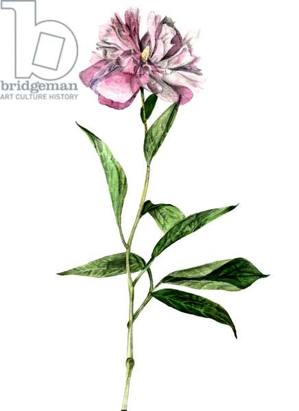Peony, 2018, (watercolour and pencil on paper)