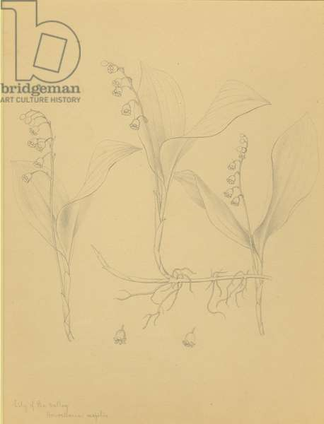 Lily of the valley: Convallaria majalis (pencil on paper)