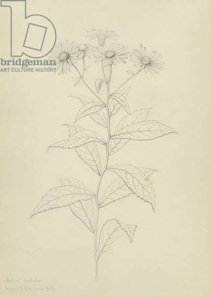 Aster radula: Begins to Flower in July (pencil on paper)