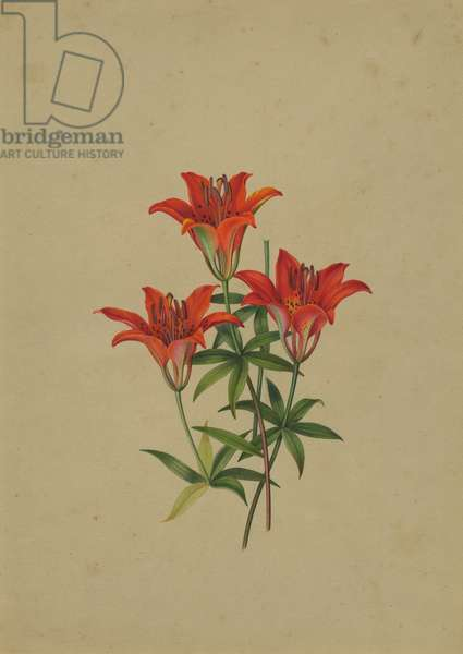 Wood Lily (w/c on paper)