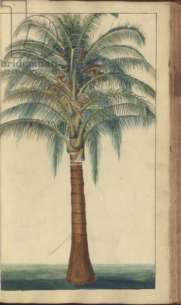 A page from the 'Elegancies of Jamaica', 403, 1750-79 (w/c on paper)