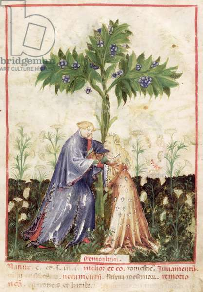 Nouv Acq Lat 1673 fol.41 Fennel, from 'Tacuinum Sanitatis', c.1390-1400 (vellum)