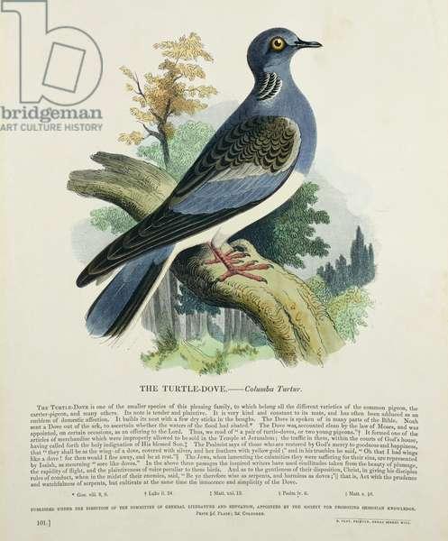 Turtle-Dove (Columba Turur) (colour litho)