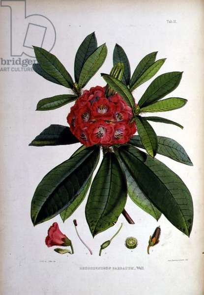 Rhododendron: Barbatum, lithograph by Walter Hood Fitch (1817–92), 1849-51 (colour litho)