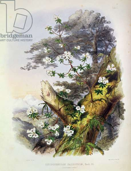 Rhododendron: Dalhousie, drawing from 'Rhododendrons of the Sikkim Himalaya', printed by Reeve Benham & Reeve, 1849-50 (colour lithograph)