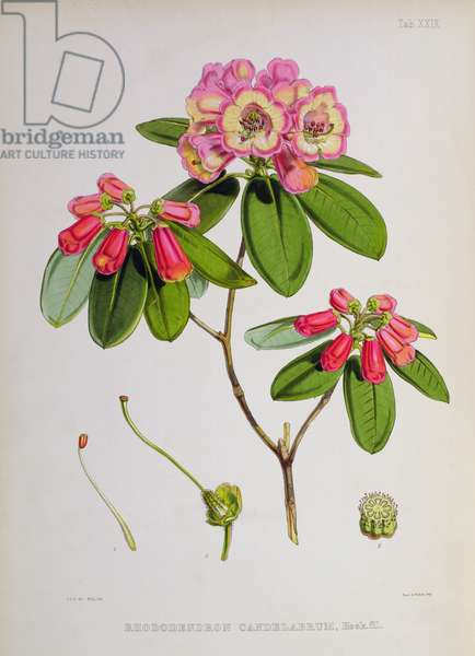 Rhododendron: Candelabrum,  lithograph by Walter Hood Fitch (1817–92), 1849-51 (colour litho)