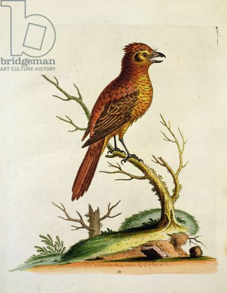 Indian Crested Butcher Bird, May 1742