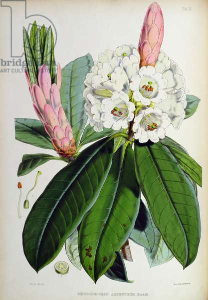 Rhododendron: Argenteum, lithograph by Walter Hood Fitch (1817–92), 1849-51 (colour litho)