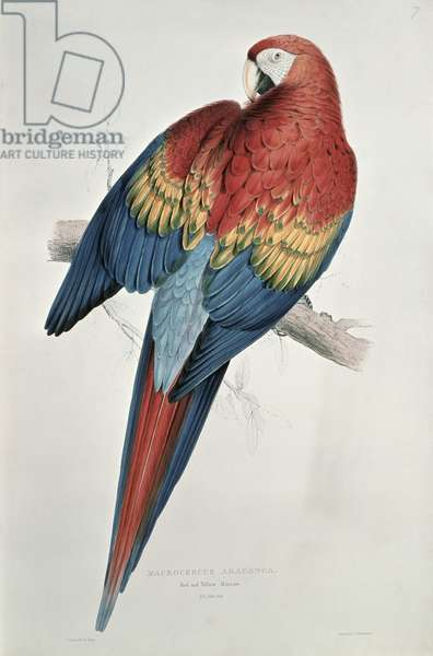Red and Yellow Macaw (colour litho)