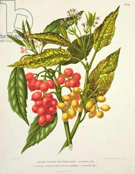 Aucuba japonica, litho by G. Severeyns, 19th century (chromolitho)