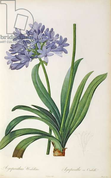 Agapanthus umbrellatus, from `Les Liliacees' by Pierre Redoute, 8 volumes, published 1805-16, (coloured engraving)