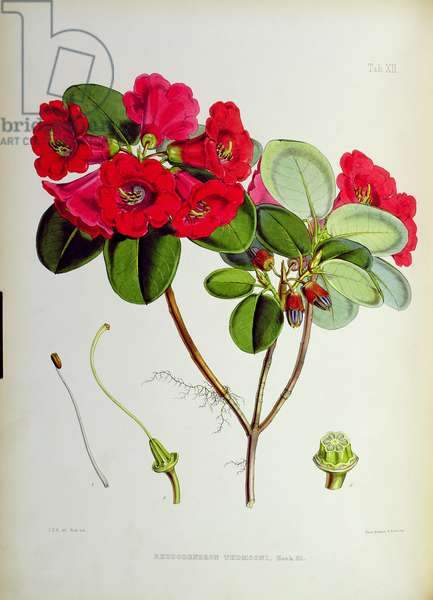 Rhododendron: Thomsoni, lithograph by Walter Hood Fitch (1817–92), 1849-51 (colour litho)
