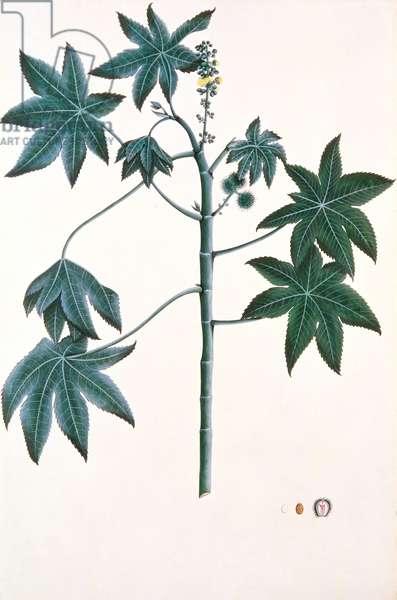 Castor oil plant, c.1801-4 (gouache & ink on paper)