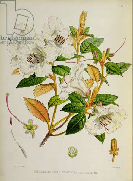 Rhododendron: Edgeworthi, lithograph by Walter Hood Fitch (1817–92), 1849-51 (colour litho)
