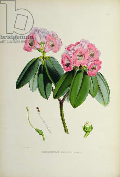Rhododendron: Wallichii, lithograph by Walter Hood Fitch (1817–92), 1849-51 (colour litho)