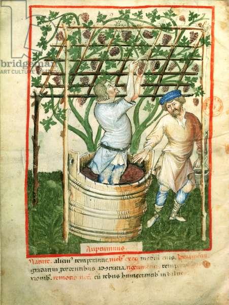 Nouv Acq Lat 1673 fol.103v Gathering and pressing grapes, from 'Tacuinum Sanitatis', c.1390-1400 (vellum)