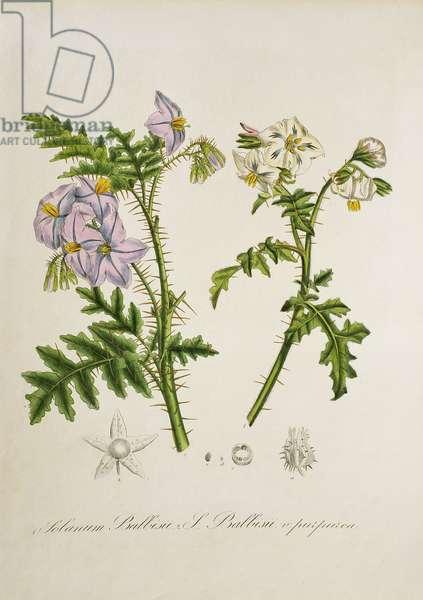 Solanum Balbrisi