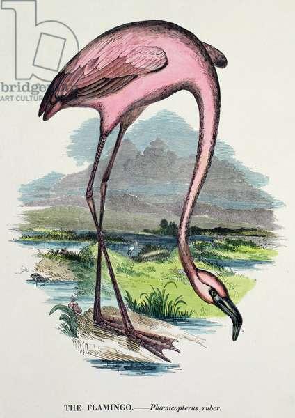 Flamingo (Phoenicopterus Ruber) (colour litho)