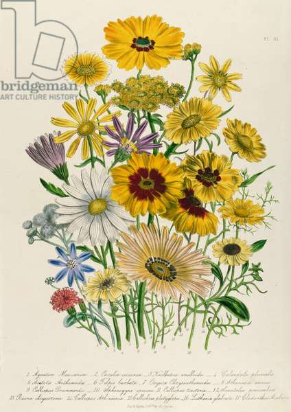 Daisies, plate 31 from 'The Ladies' Flower Garden', published 1842 (colour litho)