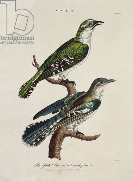 Gilded Cuckoo, Male and Female (Cuculus) (colour litho)
