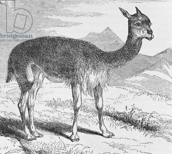 The Vicuna at the Rio de Azufre, from 'Incidents of Travel and Exploration in the Land of the Incas' by E. George Squier, pub. in 1878 (engraving)